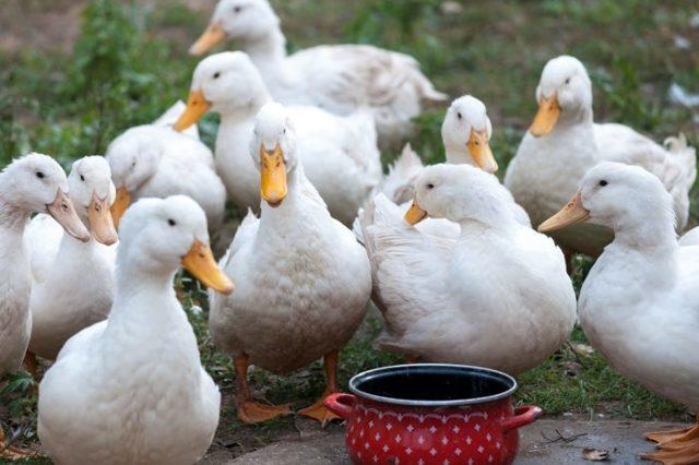 Пекинская утка: описание породы, разведение в домашних условиях
