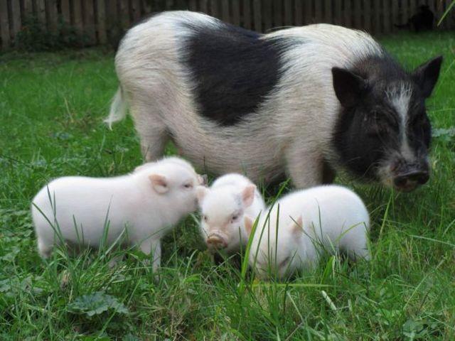 Мини-пиги: уход и содержание, характер и поведение домашних свинок