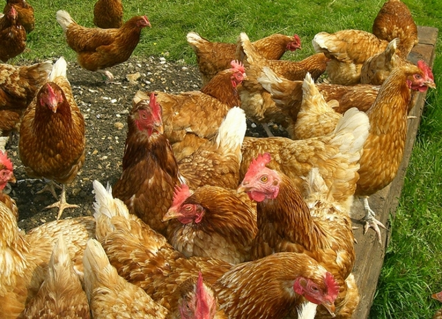 Куры выщипывают друг у друга перья и едят: Приичины и что делать