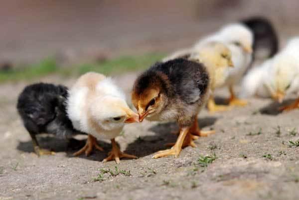 Почему куры клюют друг друга до крови: причины каннибализма, что делать