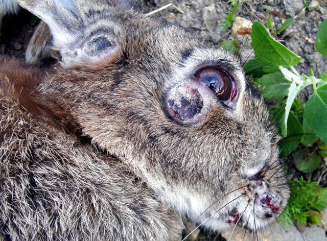 Болезни кроликов симптомы и их лечение +фото, чем болеют и что делать, заболевания опасные для человека