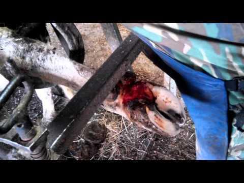 Копытная гниль у коров: лечение, признаки болезни копыт, ламинит, мокрец