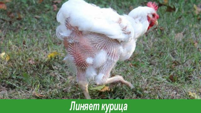 Когда начинается линька у кур несушек, причины сброса пера, ускорить