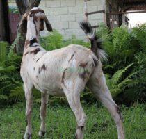 Козы нубийской породы: общая характеристика, как ухаживать и кормить, преимущества и недостатки
