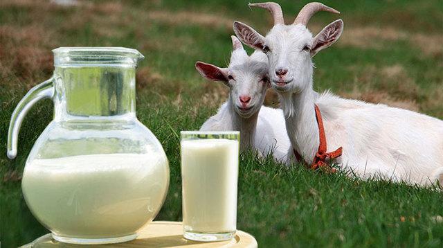 Жирность козьего молока в процентах, чем отличается от коровьего, сколько белка