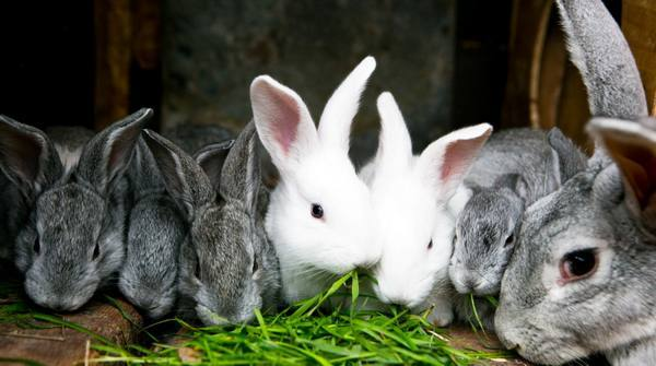 Можно ли давать столовую свеклу кроликам imother.su- все для будущей мамы