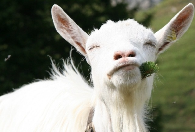 Молочных породы коз без запаха: 7 видов дойных коз, которые дают больше молока