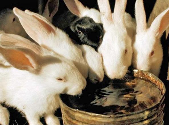 5 способов: Как сделать поилку для кроликов своими руками в домашних условиях