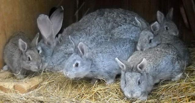 Кролики серый великан разведение и содержание в домашних условиях
