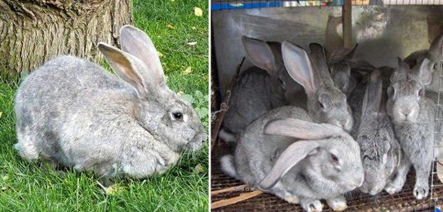 Как отличить крола от крольчихи, как определить пол декоративного кролика