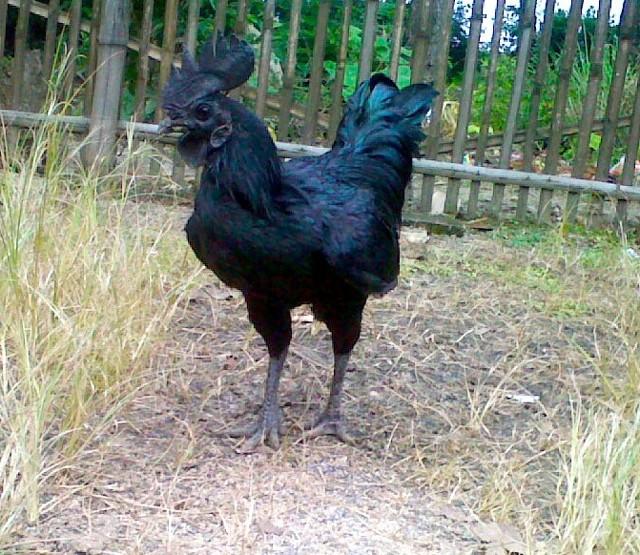 Аям Цемани – черная порода кур, описание, содержание и плюсы