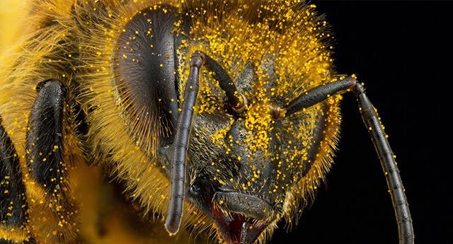 Сколько живет рабочая пчела: срок жизни после укуса, что влияет на продолжительность