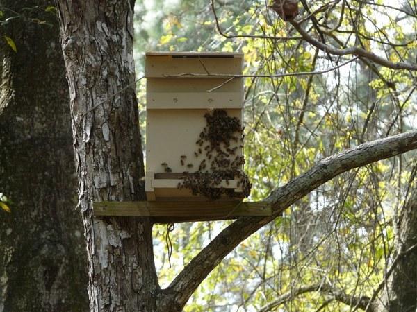 Пчелиный рой: как поймать новичку, приманки, ловушки для ловли роя
