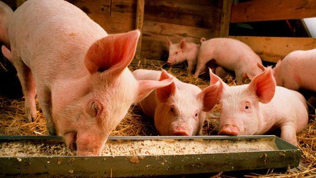Свиноводство в домашних условиях для начинающих: содержание, выращивание и разведение поросят