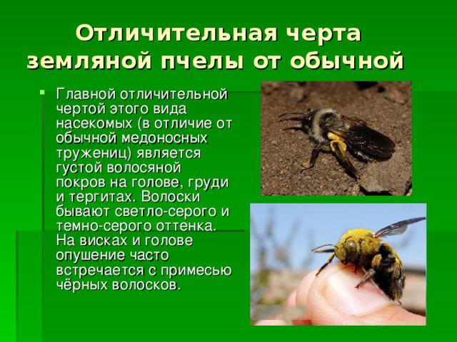 Земляные пчелы: как избавиться, в чем опасность их соседства, как бороться