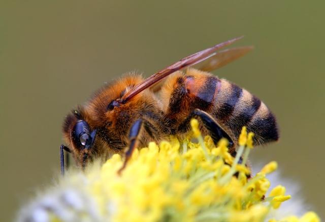 Виды пчел: как определить породу, какие бывают, внешние особенности