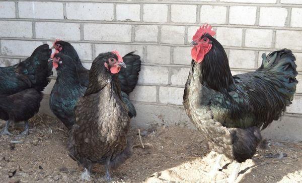 Джерсийский гигант – порода кур, описание, фото, плюсы и минусы