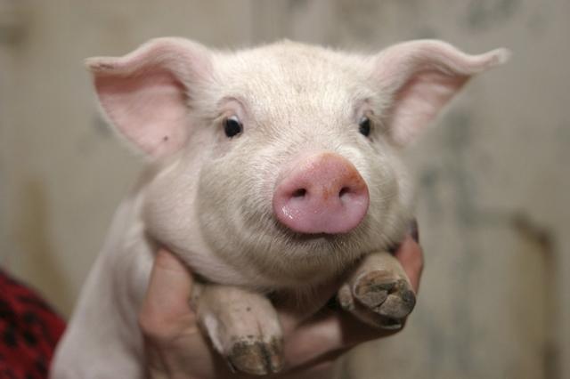 Какая температура должна быть у поросенка: норма у здоровых свиней, что делать при отклонении