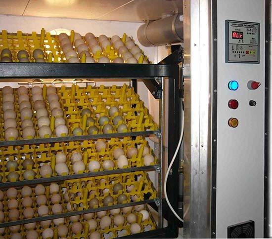 Инкубация утиных яиц в домашних условиях: температура и влажность, едят ли