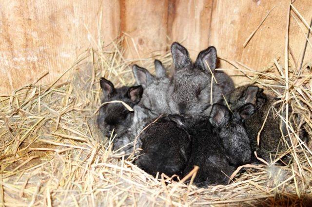 Почему крольчиха съедает своих крольчат: 5 причин и что делать