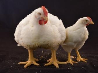 Выращивание бройлеров: таблица веса и роста птицы по дням и месяцам