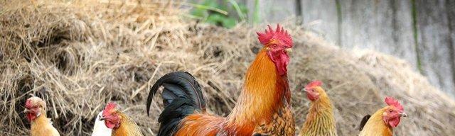 Клетки для содержания кур несушек и цыплят делаем своими руками: чертежи и размеры