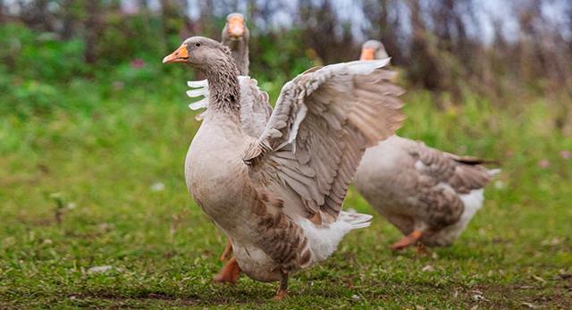 Когда начинают нестись гуси, продолжительность жизни в домашних условиях