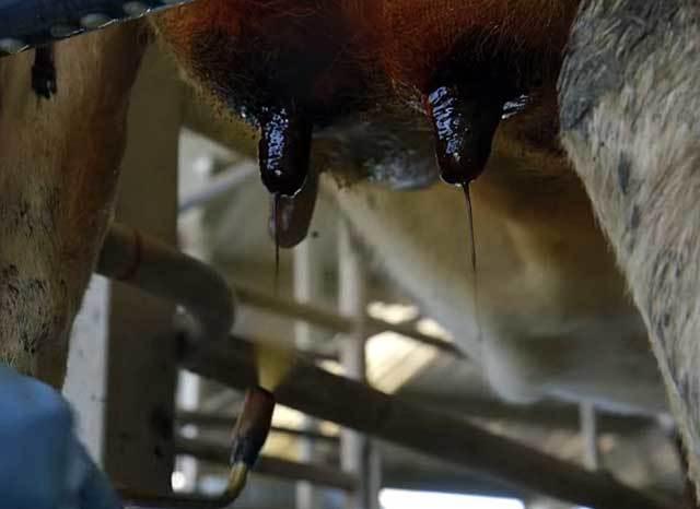 Мастит у коровы: как определить и вылечить, препараты и народные средства