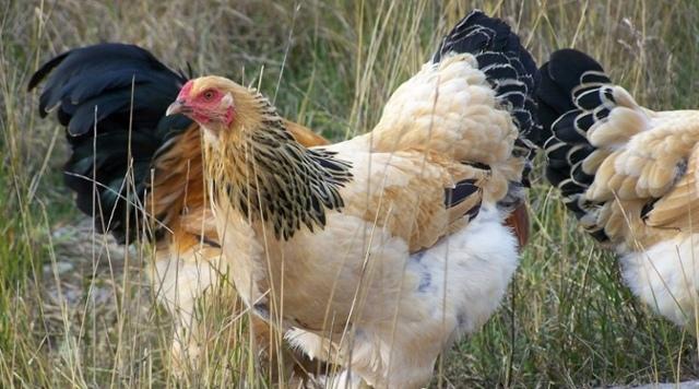 Куры Брама — описание породы, яйценоскость, выращивание и уход