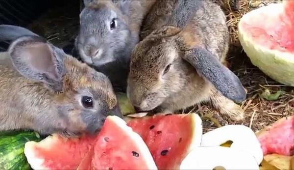 Можно ли давать кроликам арбузные корки, едят ли они корочки?