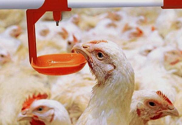 Трисульфон инструкция по применению для цыплят, взрослых птиц и кроликов