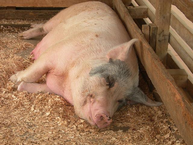 Календарь опороса свиней первый раз, сколько поросят может родить, как узнать, что скоро родит