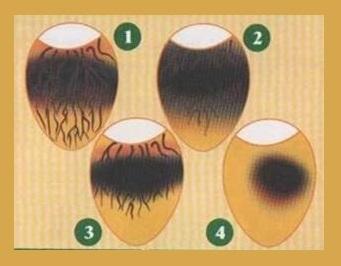 Овоскопирование куриных яиц: проверка зародышей для инкубации, выявление проблем