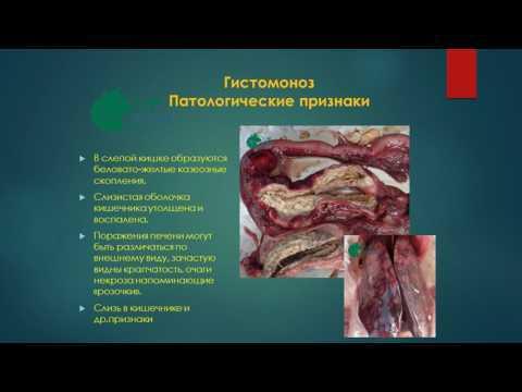 Гистомоноз индеек и курей: симптомы и лечение в домашних условиях