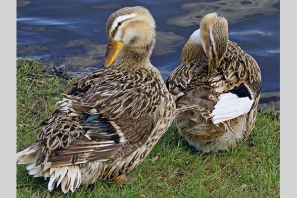 Башкирская утка: достоинство и недостатки, характеристика и описание породы