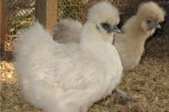 Китайская шелковая курица – какая выгода от содержания и разведения