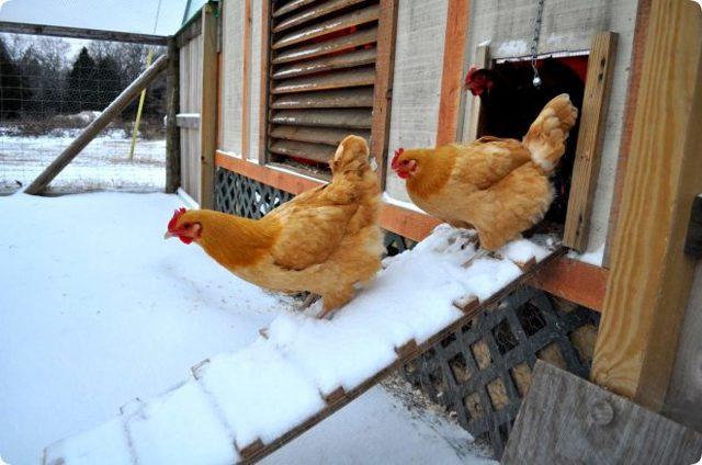 Как утеплить и обогреть курятник на зиму своими руками, сделать теплое помещение для кур, фото и видео