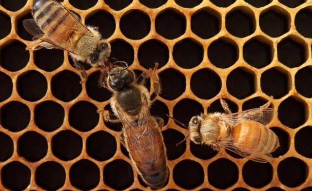 Пчелиная матка: как выглядит, особенности, виды, этапы развития, когда пора менять