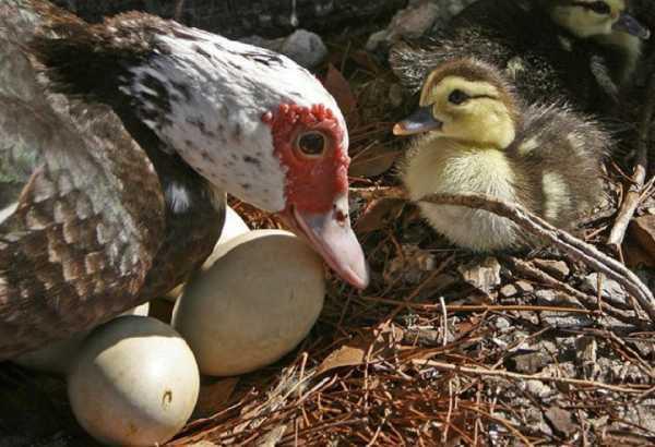 Когда утки начинают нести яйца в домашних условиях, в каком возрасте