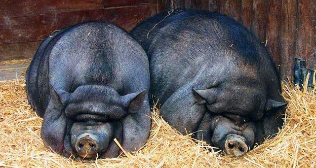 Сколько весит свинья в разном возрасте,вес поросят по месяцам, таблица