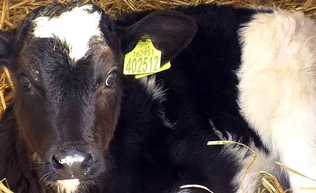 ЗЦМ для телят: Инструкция, как разводить сухое молоко, состав, пропорции и схема выпойки