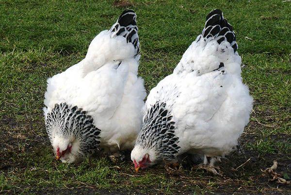 Адлерская серебристая – описание и характеристика, преимущества породы