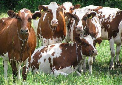 Полная характеристика айрширской породы коров: плюсы и минусы, цена и отзывы