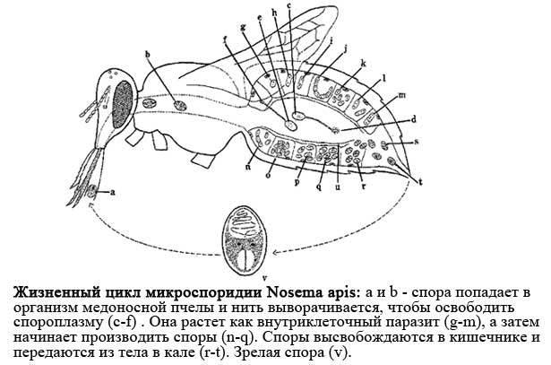 Нозематоз пчел: лечение народными средствами осенью, методы профилактики