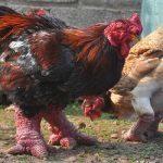 Лучшие мясо яичные породы кур ТОП 7 доступных в России!