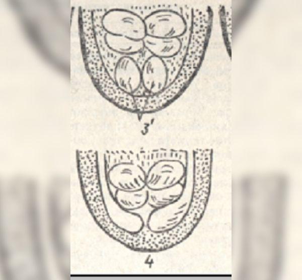 Индейка и индюшка в чем разница, как выглядит индейка, как определить пол