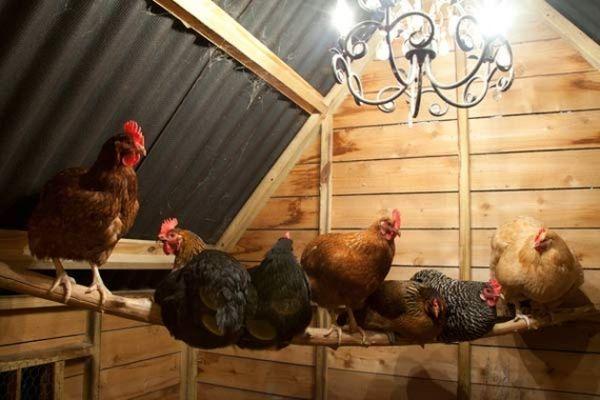 Дезинфекция курятника в домашних условиях: чем и как обрабатывать