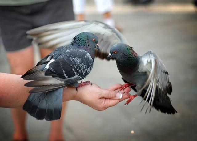 Что едят голуби в разное время
