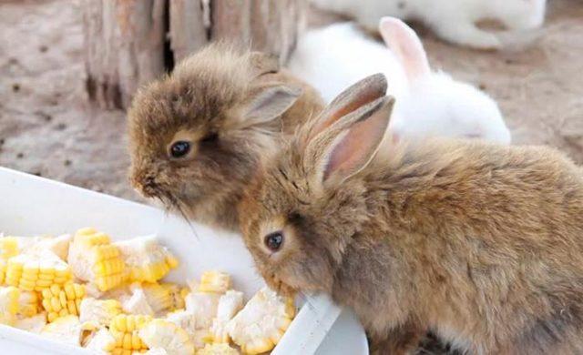 Можно ли давать кроликам кукурузу в початках и листьях: как кормить