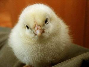 Почему дохнут цыплята и куры: как определить причину и что делать